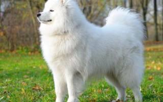 Сонник белая собака ласкается