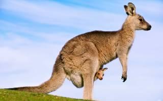 К чему снится кенгуру девушке