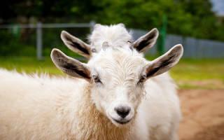К чему снится коза