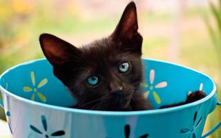 К чему снится черный котенок девушке