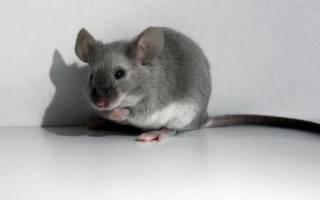 Приснилась мышка маленькая сонник