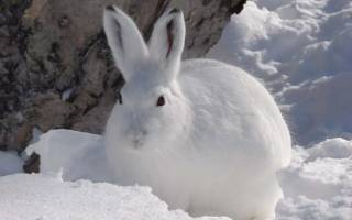 К чему снится белый заяц