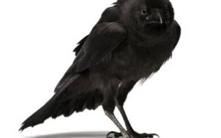 К чему снится большая черная птица