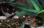 Сон про мышей к чему