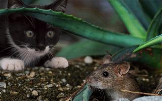 Видеть во сне мышь живую